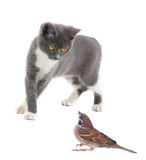 Gray cat and sparrow Stock Image