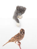 Gray cat and sparrow Royalty Free Stock Photo