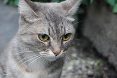 Gray cat. Spotted its prey Stock Photo