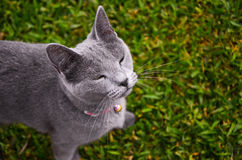 Gray Cat squinting, looking up, grass background Stock Photography
