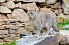 Gray Cat Stalking. Beautiful Gray Cat with green eyes  standing outdoor Royalty Free Stock Image