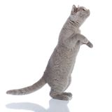 Gray cat standing Stock Photos