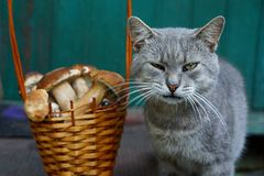 A gray cat is standing by a brown basket with porcini mushrooms. Cat with open mouth near basket with mushrooms Royalty Free Stock Photo