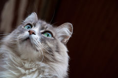 Gray cat stares Royalty Free Stock Photo