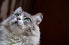 Gray cat stares Royalty Free Stock Photo