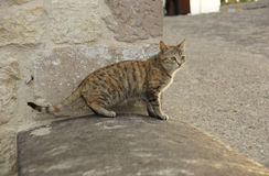 Gray cat on a stone threshold Stock Photo