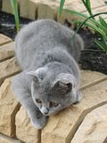 сat. Gray cat on the stone wall Stock Photos