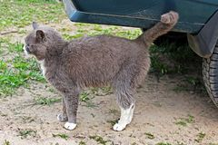 Gray cat on the street. Animal royalty free stock images