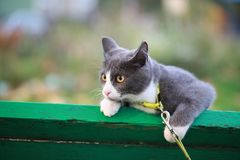 Gray white cat on the street walk on a leash. Gray cat on the street walk on a leash Royalty Free Stock Images