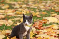 Gray white cat on the street walk on a leash Royalty Free Stock Photography