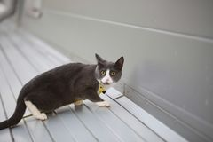 Gray white cat on the street walk on a leash. Gray cat on the street walk on a leash Stock Photography