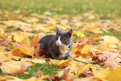 Gray white cat on the street walk on a leash Royalty Free Stock Photos
