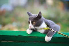 Gray white cat on the street walk on a leash Royalty Free Stock Photo