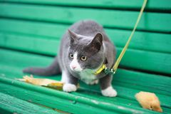 Gray white cat on the street walk on a leash. Gray cat on the street walk on a leash Stock Images