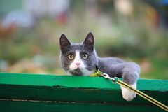 Gray white cat on the street walk on a leash. Gray cat on the street walk on a leash Royalty Free Stock Photo