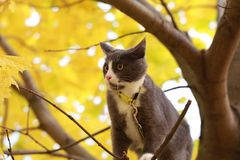 Gray white cat on the street walk on a leash. Gray cat on the street walk on a leash Royalty Free Stock Photography