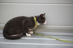 Gray white cat on the street walk on a leash Stock Photo