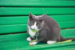Gray white cat on the street walk on a leash Stock Photos