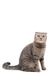 Gray cat with strips of Scottish fold. Gray cat breed Scottish fold sits on a white background Royalty Free Stock Photo