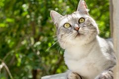 Gray british cat with interesting look on green garden Royalty Free Stock Photography
