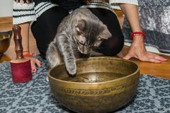 Gray cat touches the water royalty free stock image