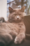 Gray cat with tough look on the window Royalty Free Stock Photos