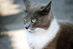 The gray cat for a walk. The cat, pets, animals, nature, gray, kitten, moustaches, eyes, cats, feline eyes Stock Images