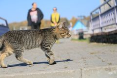Grey cat walking royalty free stock photography
