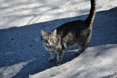 Gray cat walking on gray asphalt road texture with shadow line, looking straight. Side view royalty free stock images