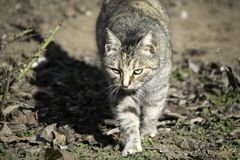 Gray cat walking in the garden stock image