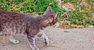 Gray cat walking. Outside along the grass edge stock video