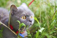 Gray cat walking on green grass royalty free stock image