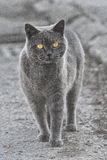 Gray cat. Walking gray cat with orange eyes Stock Image