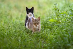 A gray cat walks among the grass and a second black cat sits at the back. stock photo