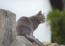 Gray cat on the wall Royalty Free Stock Photography