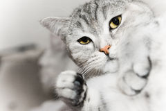 Gray cat watch Royalty Free Stock Images
