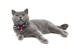 Gray cat wearing a collar with a bow isolated on a white backgro Stock Images