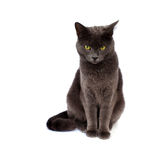 Gray cat on white background. Isolated gray cat on a white background royalty free stock photography