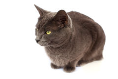 Gray cat on white background. Isolated gray cat on a white background Royalty Free Stock Photo