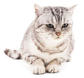 The gray cat. Royalty Free Stock Photography