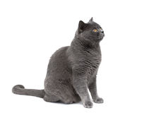 Gray cat on a white background looking up. Stock Image