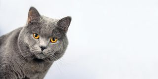 Gray cat on a white background, scottish straight cat look in camera stock photo