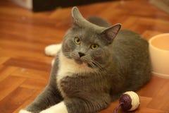 Gray cat Royalty Free Stock Photography