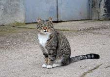Gray cat with white breast sits on the street royalty free stock photos
