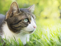 Gray cat with white face in garden Royalty Free Stock Photography