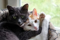 Gray cat and white pussycat sleep in embrace. Close royalty free stock photo