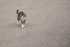 Gray cat with white spots walking on the road