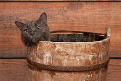 Gray Cat in Wooden Bucket Stock Photos