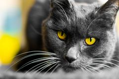 The gray cat with yellow eyes. The gray cat stock images