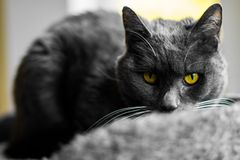 The gray cat with yellow eyes. The gray cat stock photo